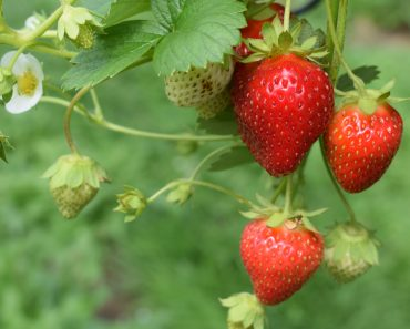 Why To Blow Dry Strawberries After Purchasing Them