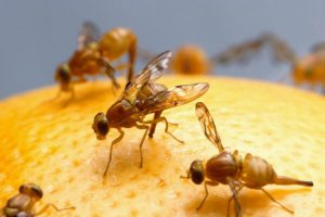 Simple & Natural Fruit Flies Solution- Get Rid Of Them Easily